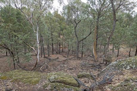 Wirrimbirra Yalul trees from rocky area