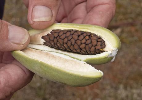 Wirrimbirra Yalul  bush banana seeds in pod