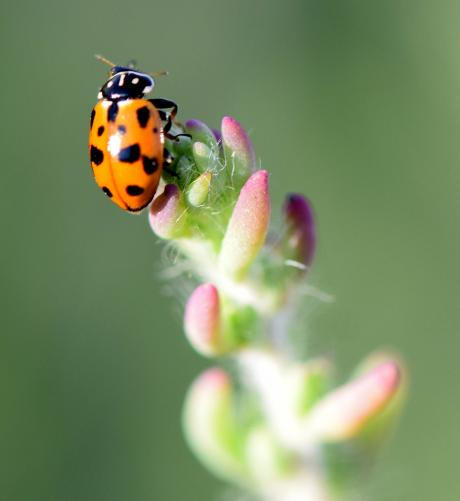 Two spotted Lady bird, Adalia bipuncata (Family: Coccinellidae) - Nick May