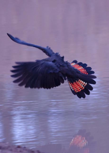 Glossy Black Cockatoo - Graham Russell