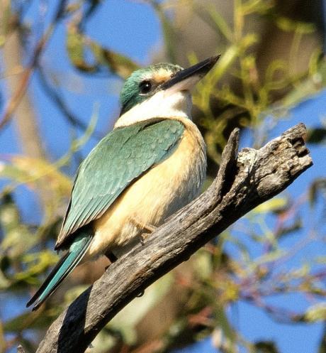 Sacred Kingfisher. Photo: Phillip Williams